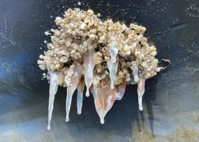 Seepocken-Arrangement. Wenn Antifouling nicht wirkt, gewinnt die Natur.